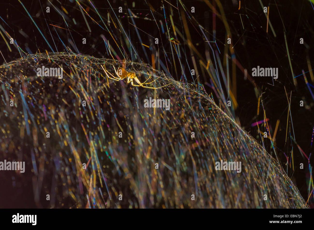 Hoja-web tejedores, hoja-web spinners, línea de tejer las arañas, línea tejedores, dinero (arañas Imagen De Stock
