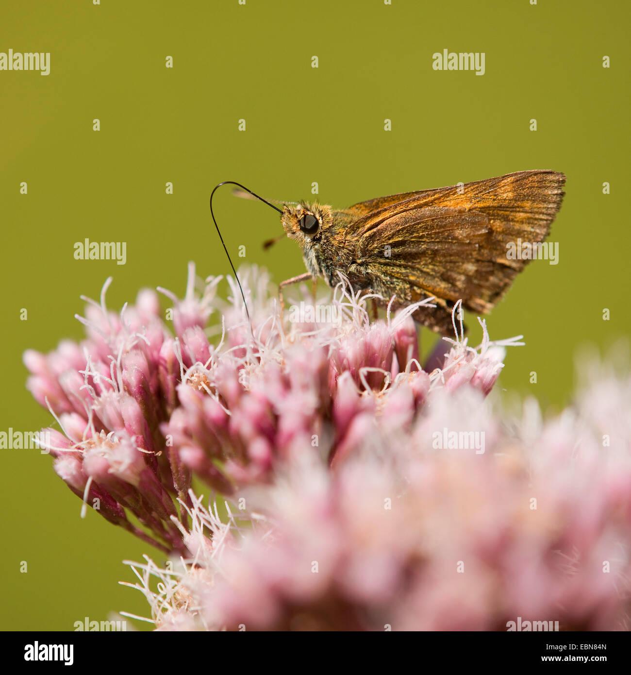 Gran Capitán (Ochlodes venatus, Ochlodes sylvanus Ochlodes venata,), chupando el néctar de una flor de cáñamo-agrimony, Alemania Foto de stock