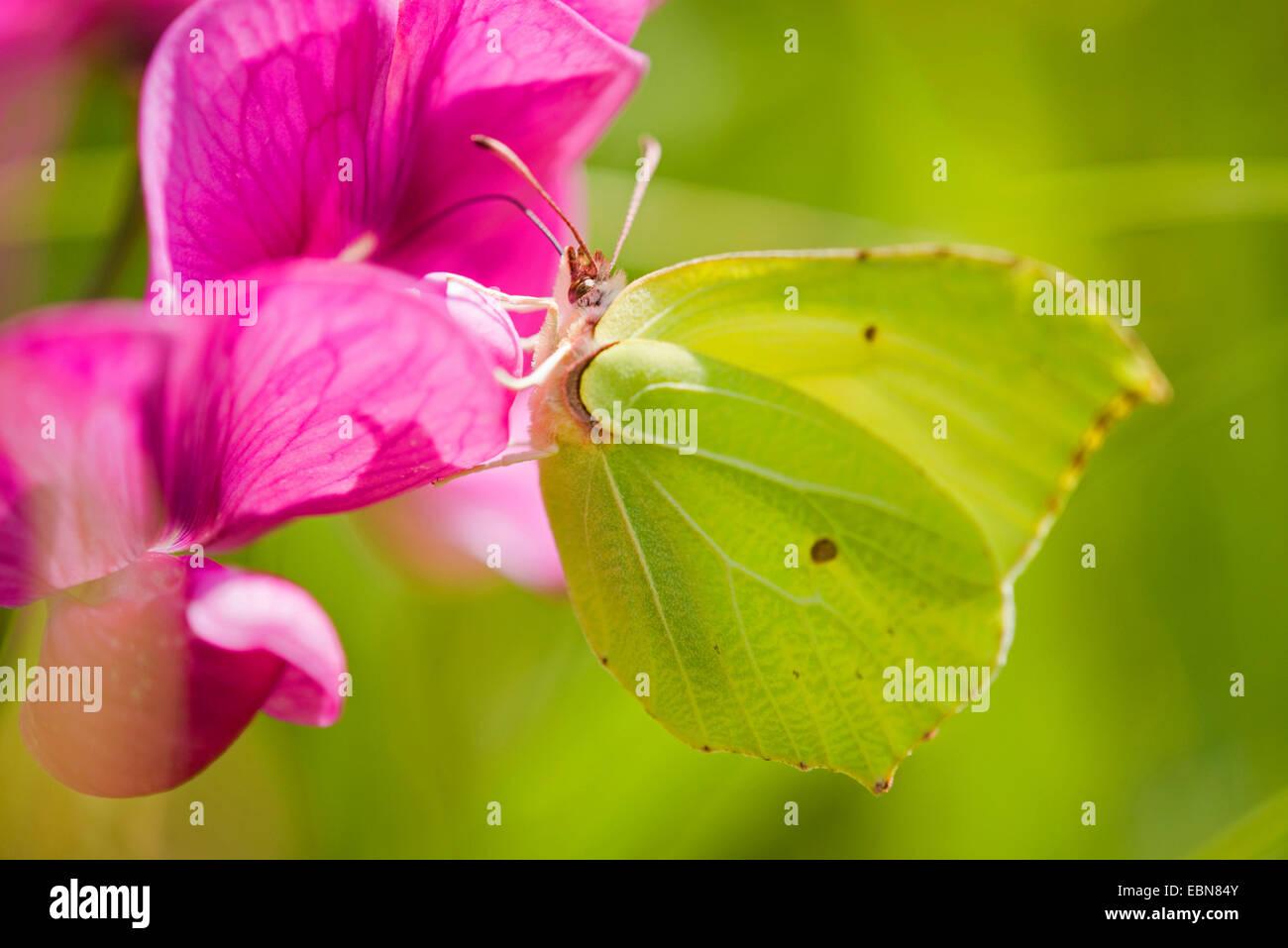 Brimstone (Gonepteryx rhamni), chupando el néctar de una flor de una planta perenne peavine, Alemania Foto de stock