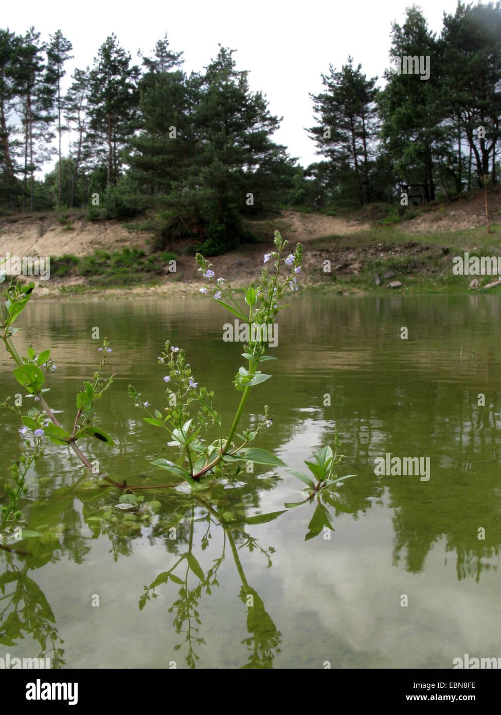 Agua speedwell, blue water-speedwell, Brook-pimpernell (Veronica anagallis-aquatica), florece en un estanque, en Imagen De Stock