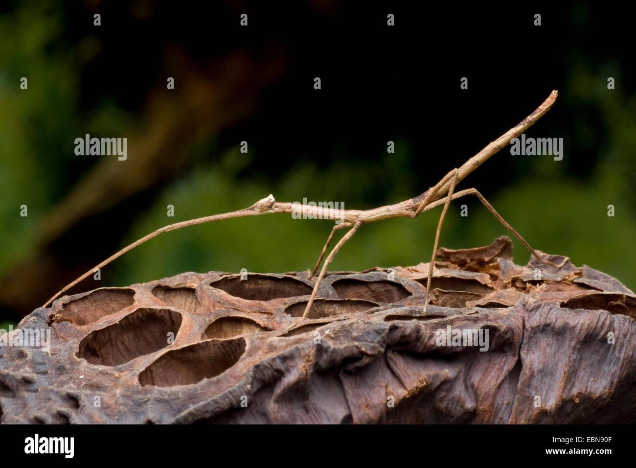 Palo Verde gigante Tirachoidea Bug (bíceps), sobre una fruta Foto de stock