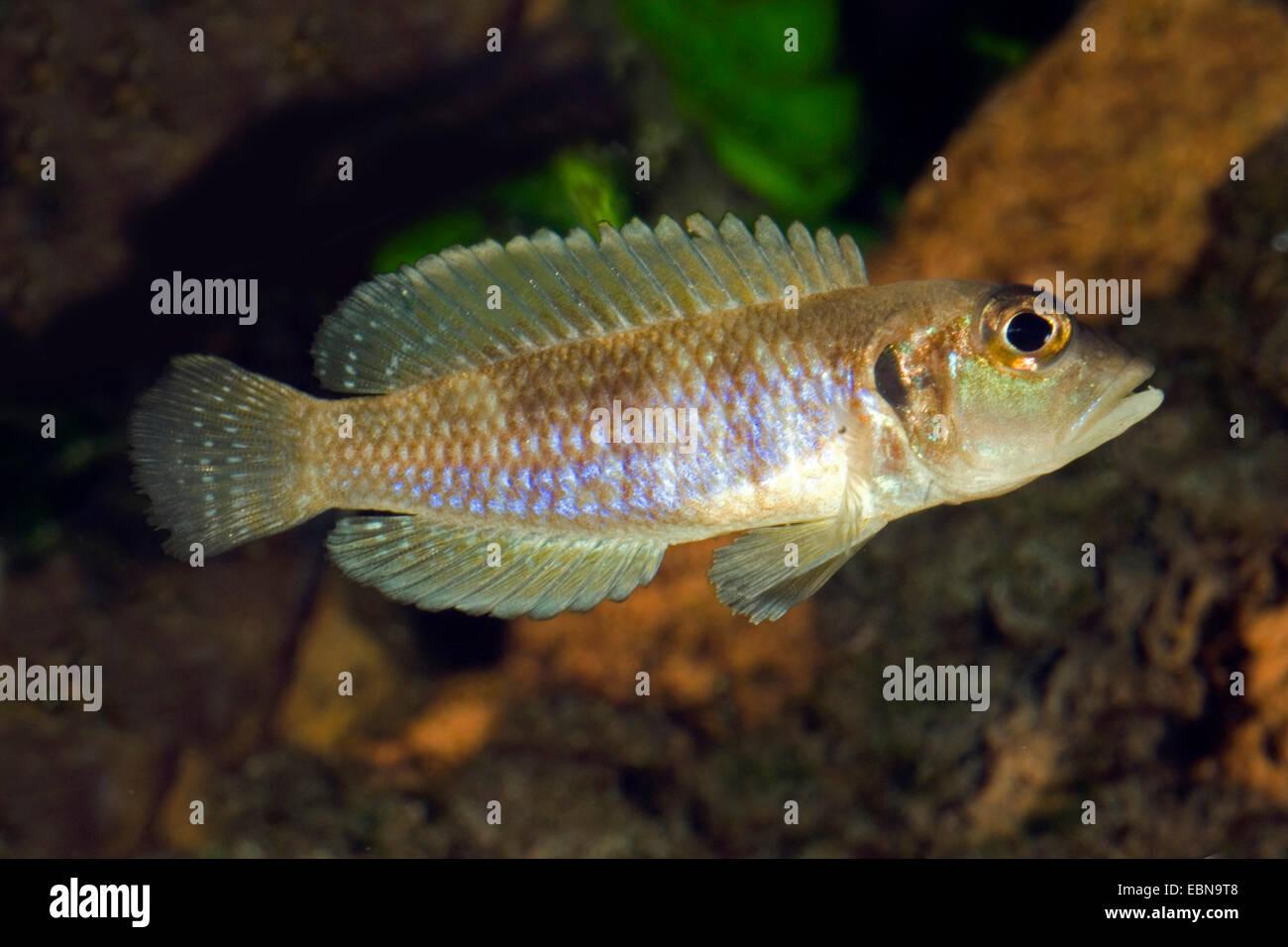 Shell Tanganjika Cichlid (Telmatochromis vittatus), natación Imagen De Stock
