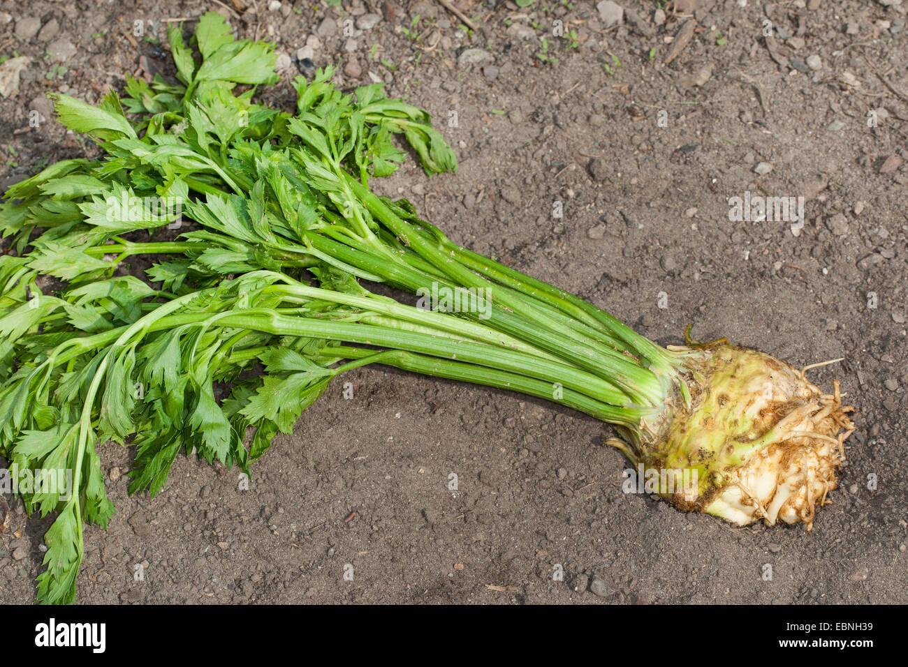 El apio nabo arraigada Celeriac, el apio, la perilla apio (Apium graveolens var. Rapaceum, Apium graveolens rapaceum, Imagen De Stock