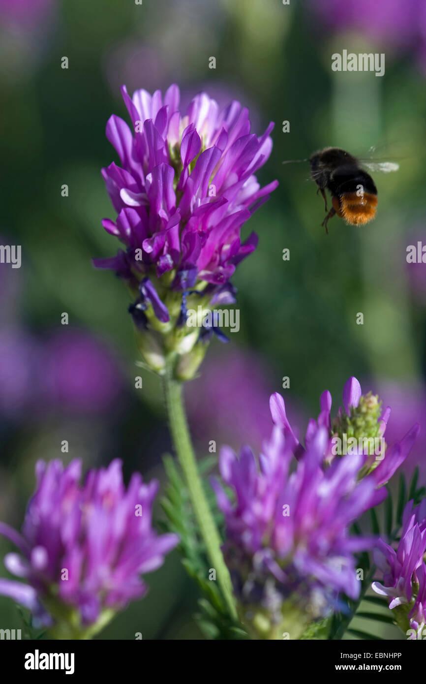 Sainfoin milkvetch (Astragalus onobrychis) Inflorescencia con acercarse a humilde bee Imagen De Stock