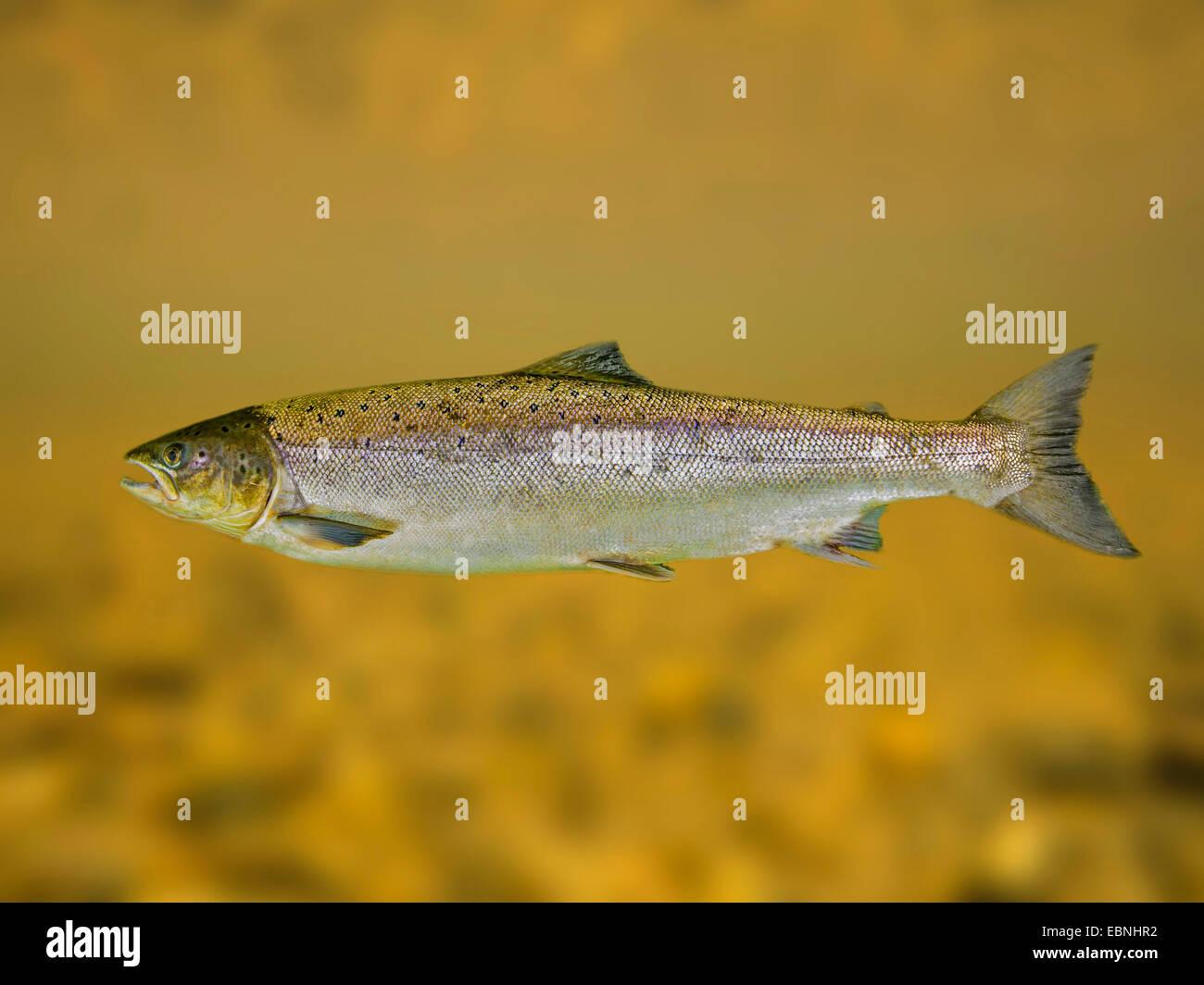 Salmón atlántico, ouananiche, lago de salmón Atlántico, salmón sin litoral, Sebago salmón Imagen De Stock