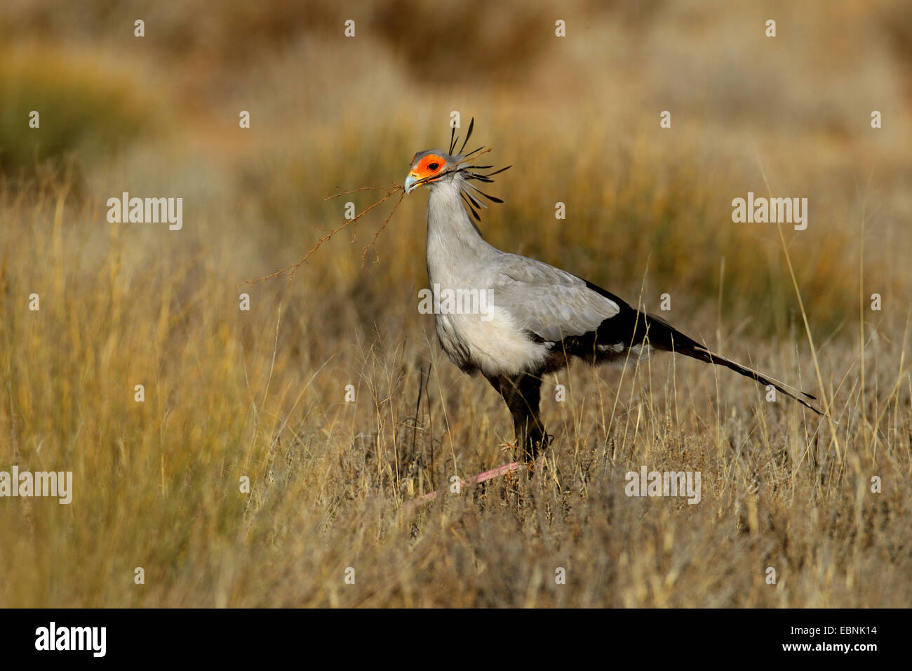 Secretario bird, Sagitario (Sagittarius serpentarius serpentarius), caminando a través de pastizales y busca Imagen De Stock