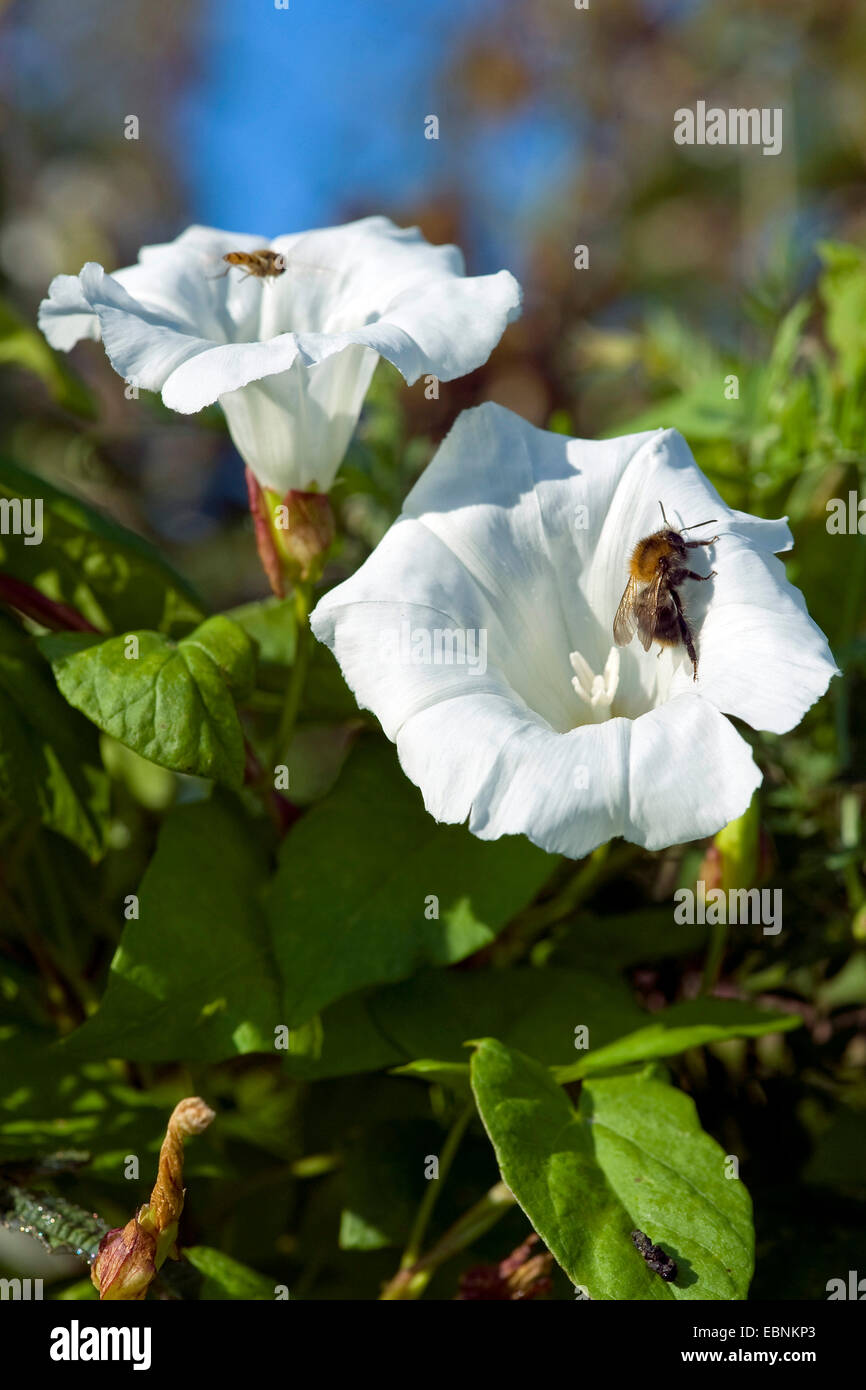 Bellbine, Hedge bindweed, Hedge false bindweed, Lady's-trago, Rutland belleza, Mayor bindweed (Calystegia sepium, Imagen De Stock