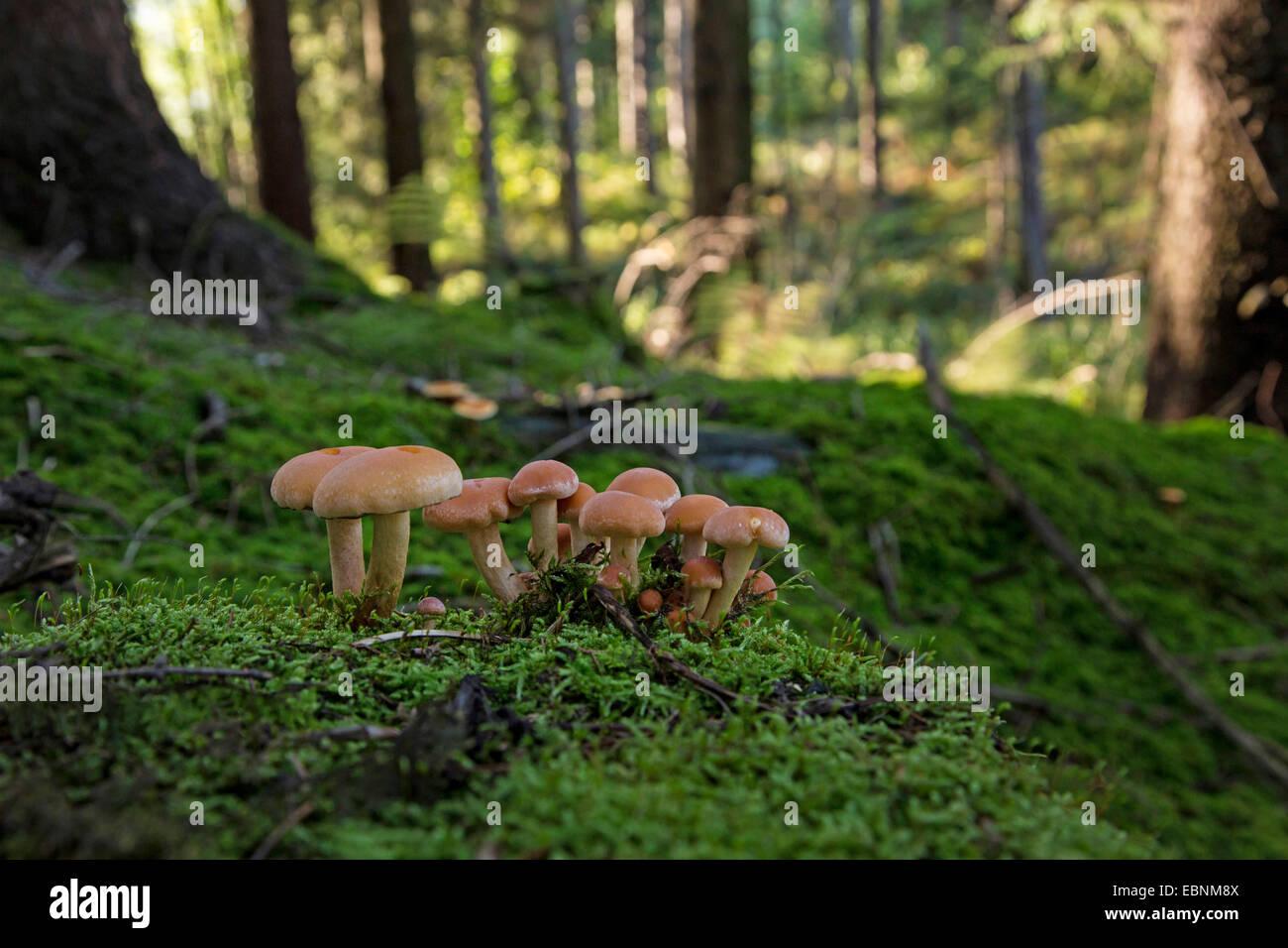 Miel oscura hongo, seta de miel (Armillaria ostoyae, Armillariella polymyces, Armillaria solidipes), órganos de fructificación en un árbol musgosas snag, Alemania, Baviera Foto de stock