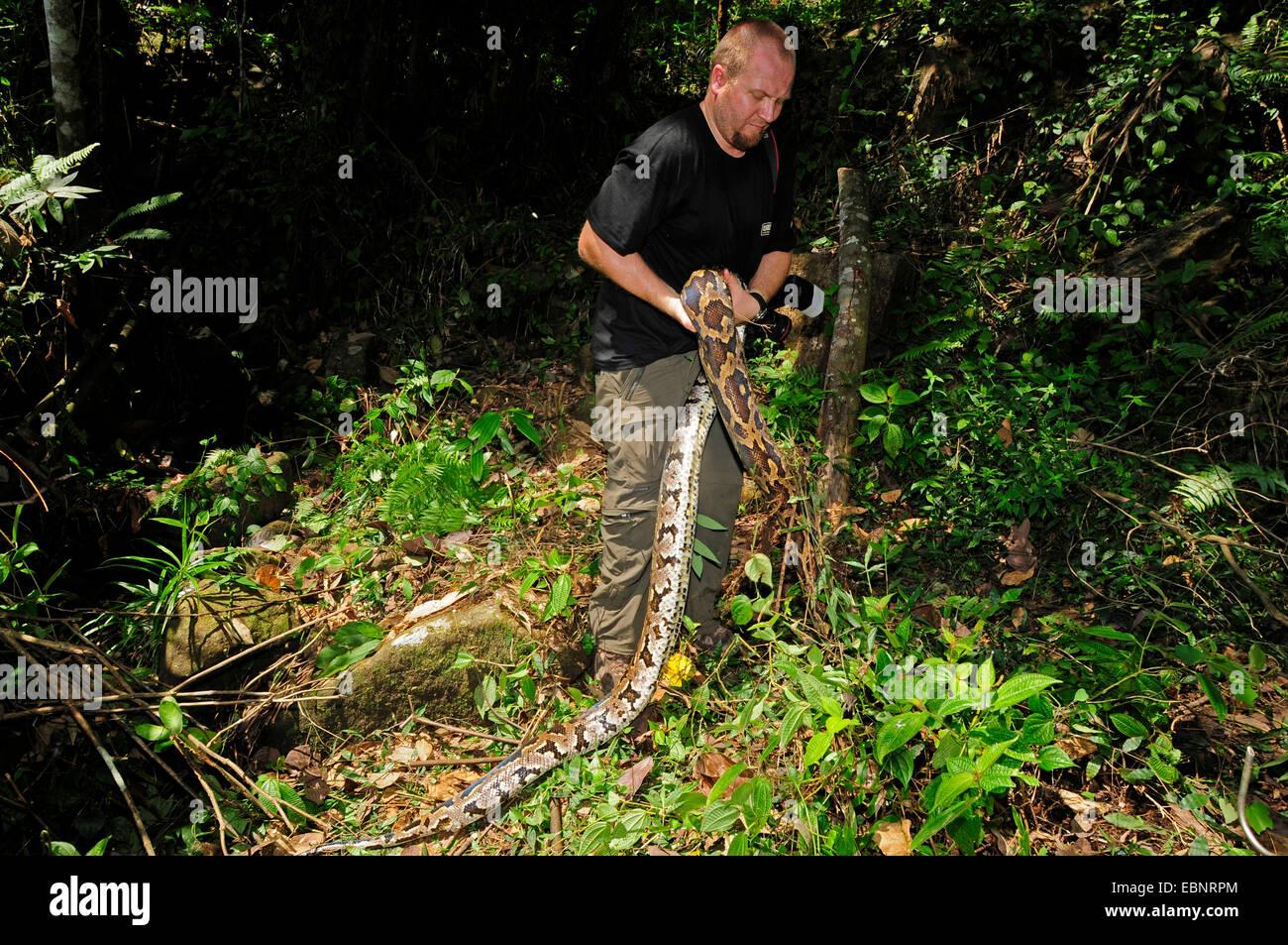Pitón birmana, Indian python (Python molurus), la captura de un hombre adulto pitón birmana, Sri Lanka, Sinharaja Foto de stock