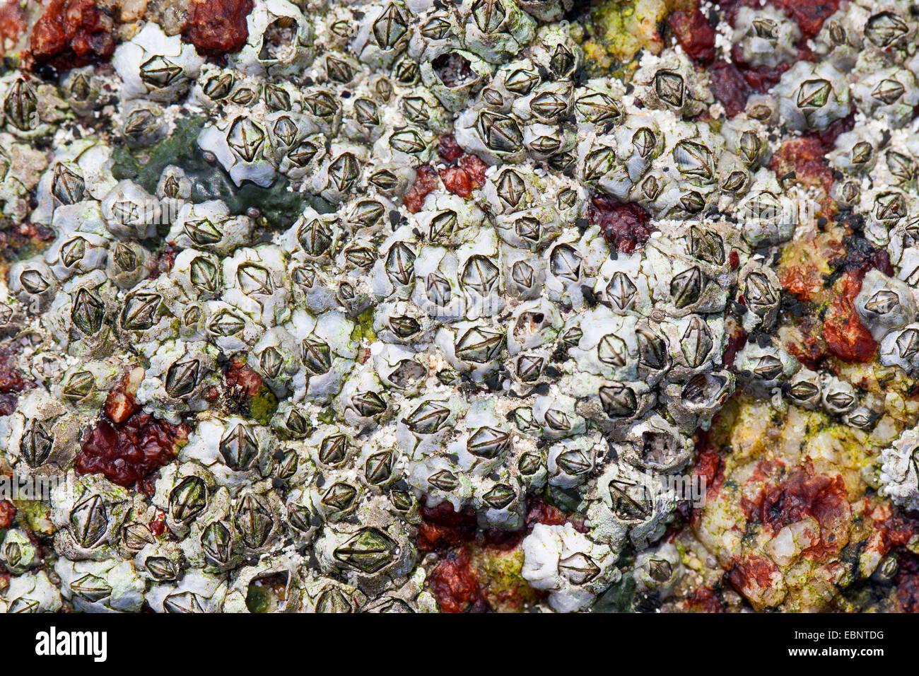 Percebe (modesto Elminius modestus), se adhieren a una roca en la costa, Alemania Foto de stock