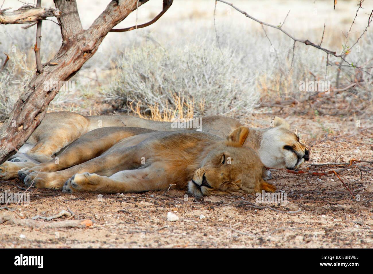 León (Panthera leo), dos animales durmiendo bajo un árbol, Namibia, el Parque Nacional de Etosha Imagen De Stock