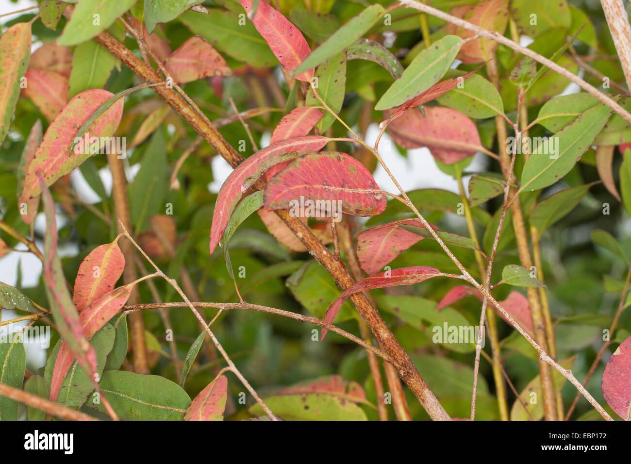 Eucalipto redgum Longbeak, Río, río red gum (Eucalyptus camaldulensis), rama Imagen De Stock
