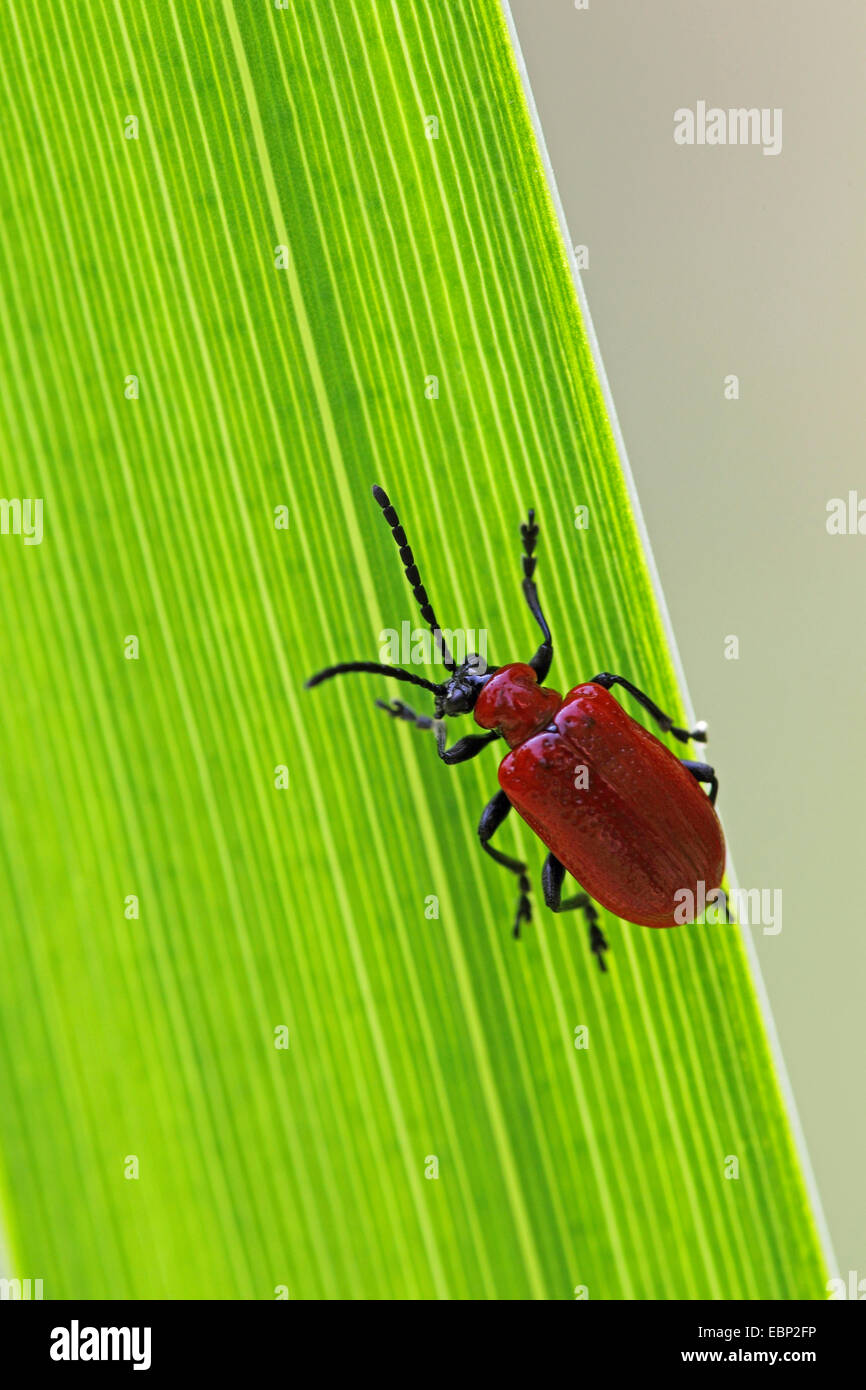 Red Lily Beetle Imágenes De Stock & Red Lily Beetle Fotos De Stock ...