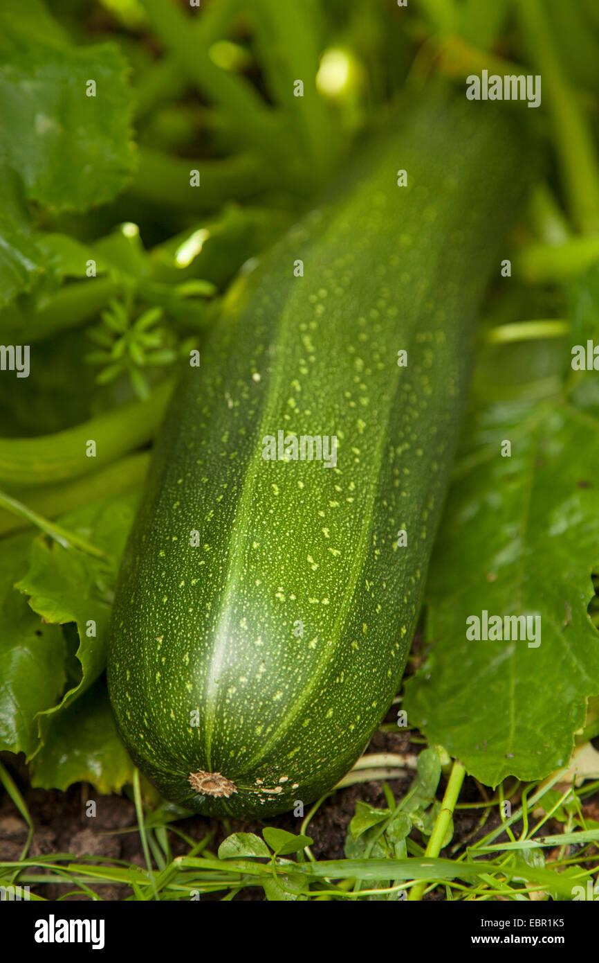 Calabacín Calabacín (Cucurbita pepo var. giromontiia, Cucurbita pepo subsp. pepo convar. giromontiina), Imagen De Stock
