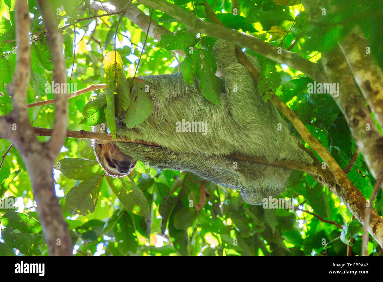 Linnaeus' dos dedos cada sloth (Choloepus didactylus), colgando en una rama de un árbol corona y descansando, Costa Rica Foto de stock