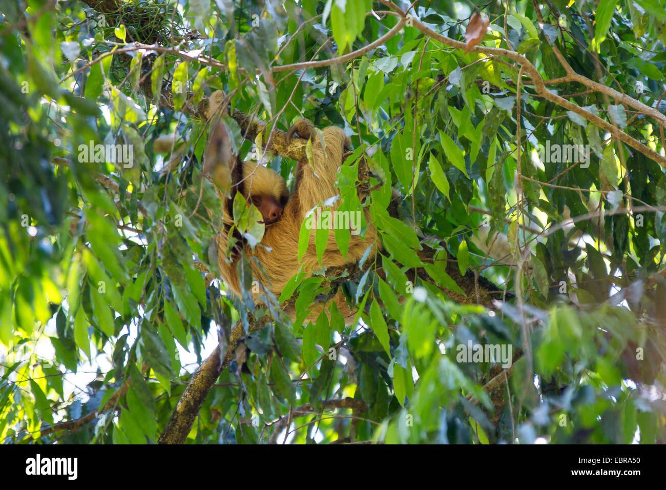 Linnaeus' dos dedos cada sloth (Choloepus didactylus), colgando en una rama de un árbol corona, Costa Rica Foto de stock