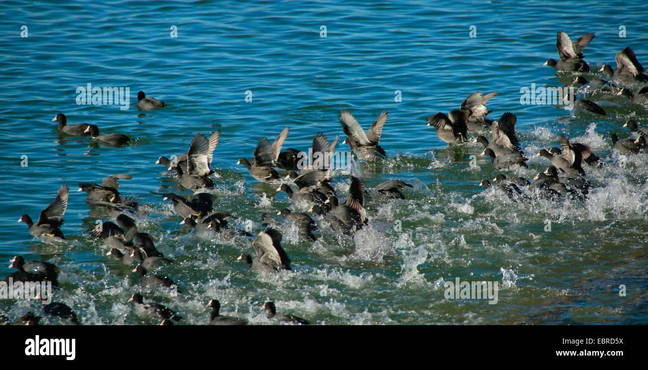 Negro Focha Común (Fulica atra), rebaño sobre un lago, volando hacia arriba, Alemania Imagen De Stock