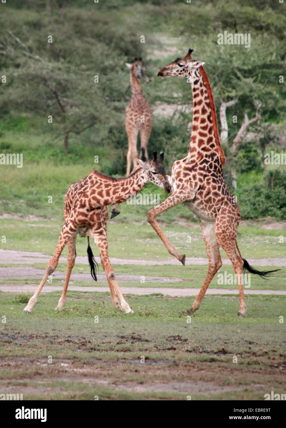 Masai jirafa (Giraffa camelopardalis tippelskirchi), los combates jirafas, Tanzania, el Parque nacional Serengeti Imagen De Stock