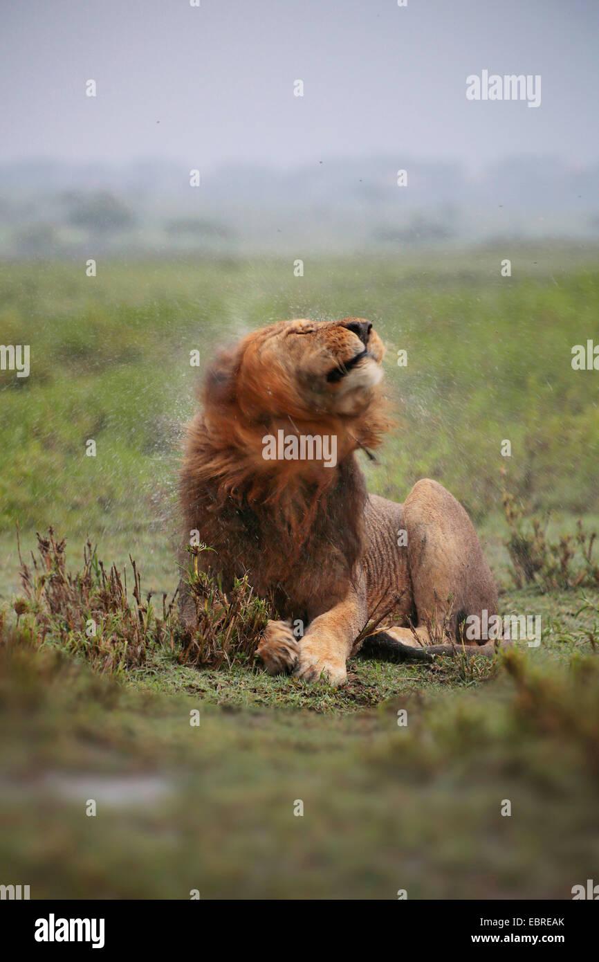 León (Panthera leo), Male lion agitando el agua fuera de su cabeza mojada de lluvia, Tanzania, el Parque nacional Serengeti Foto de stock