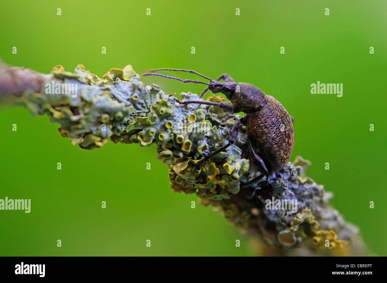 Gorgojo de cine negro, el gorgojo de la vid, el gorgojo de la vid europea (Otiorhynchus sulcatus, Brachyrhinus sulcatus), Imagen De Stock