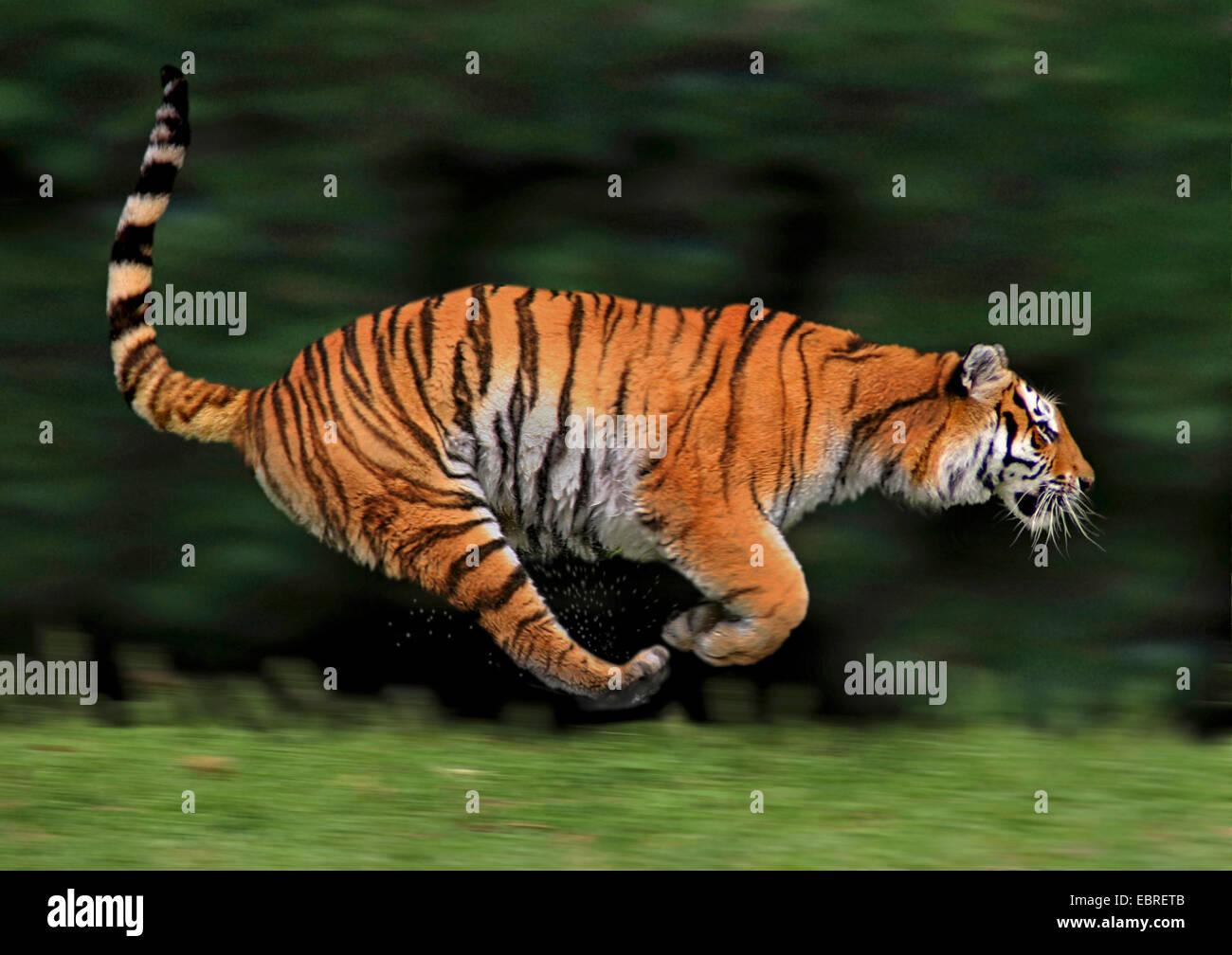 El tigre (Panthera tigris), lateral girando, acción Imagen De Stock
