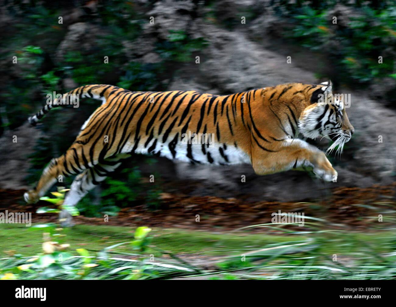 El tigre (Panthera tigris), salto lateral, acción Imagen De Stock