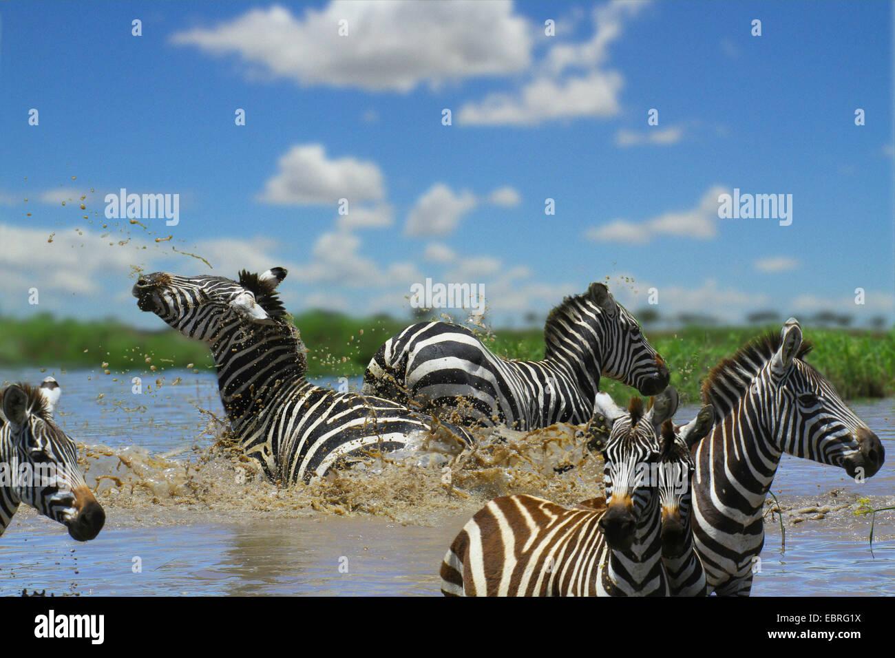 La cebra común (Equus quagga), rebaño en agua, lucha, Tanzania, el Parque nacional Serengeti Imagen De Stock