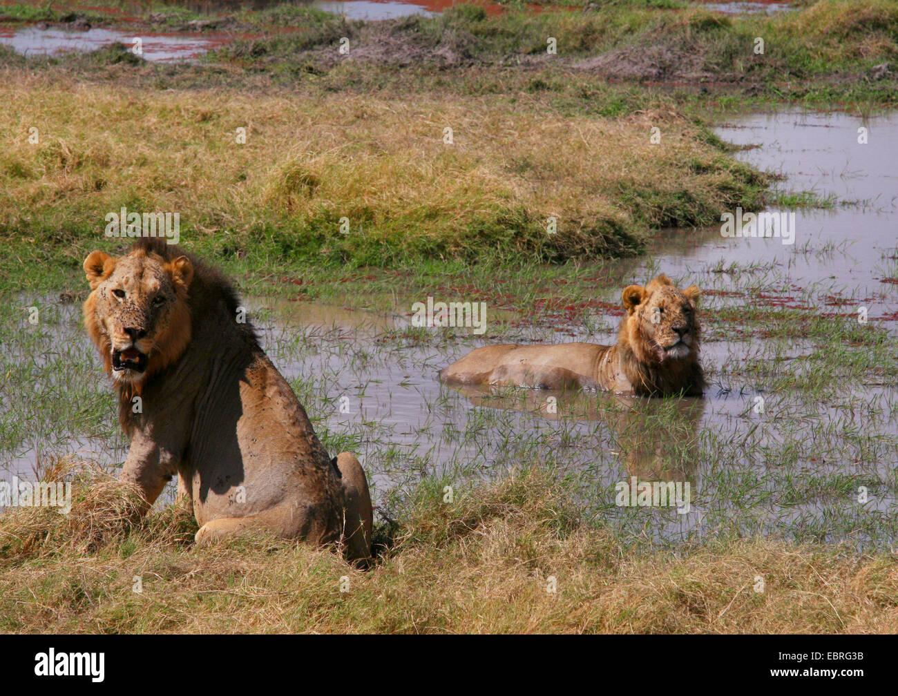 León (Panthera leo), leones refrescarse en el agua, el Parque Nacional de Amboseli, Kenia Imagen De Stock
