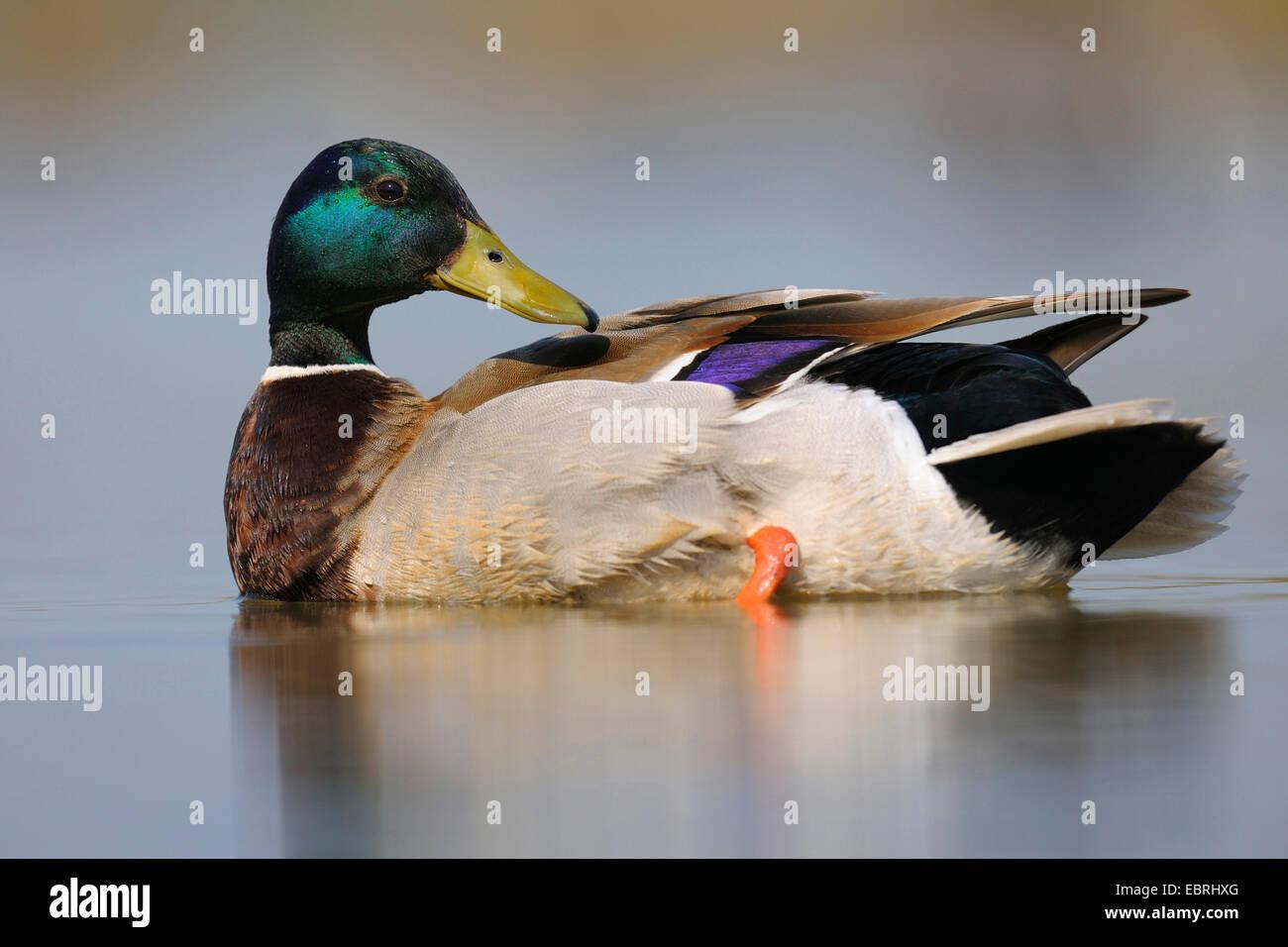 El ánade real (Anas platyrhynchos), macho acicalarse, Hungría Foto de stock