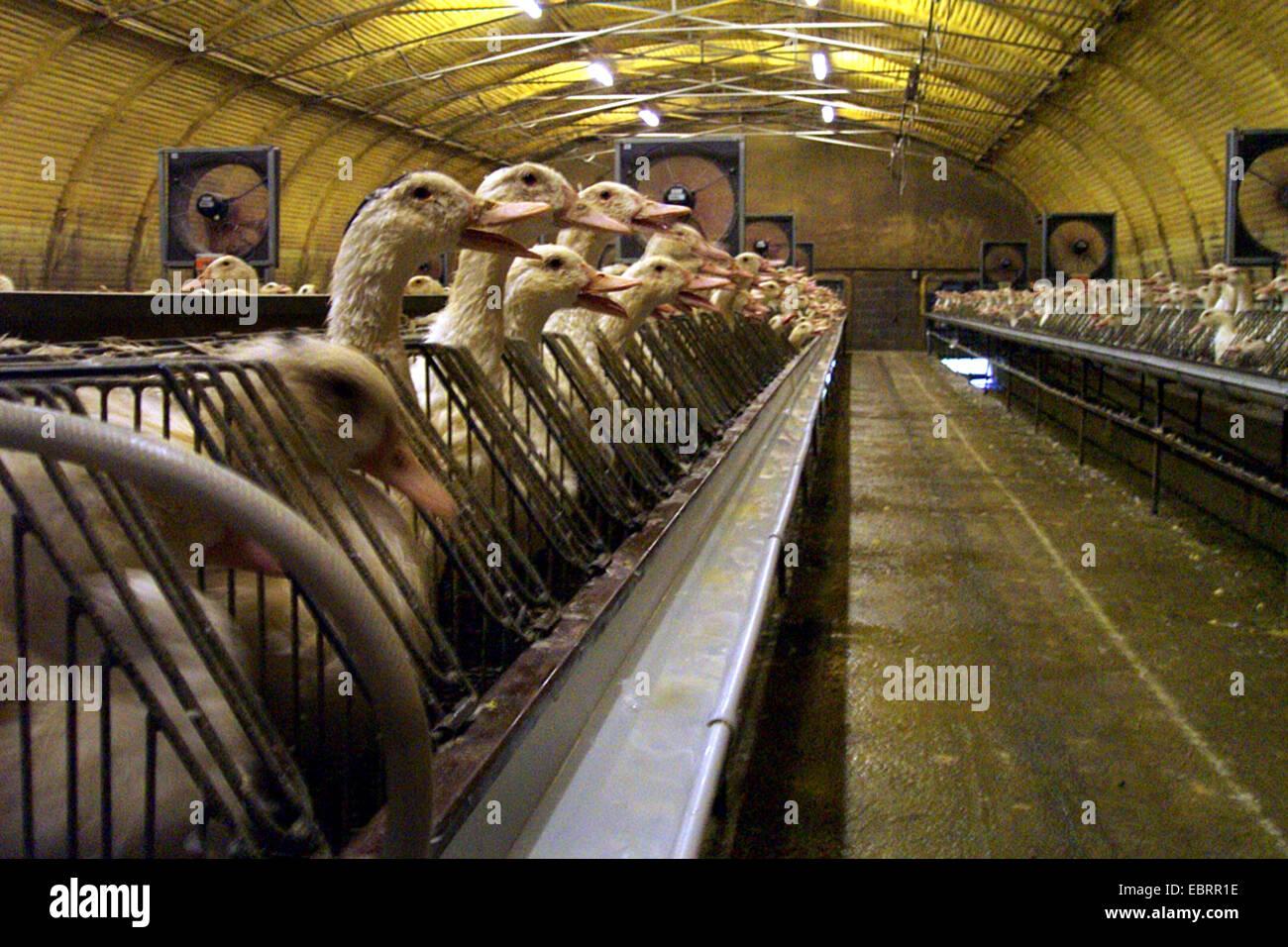Domestic Duck (Anas platyrhynchos f. domestica), infinidad de aves en las granjas industriales y de engorde, fijo en apretadas jaulas para facilitar la cebadura, Alemania Foto de stock