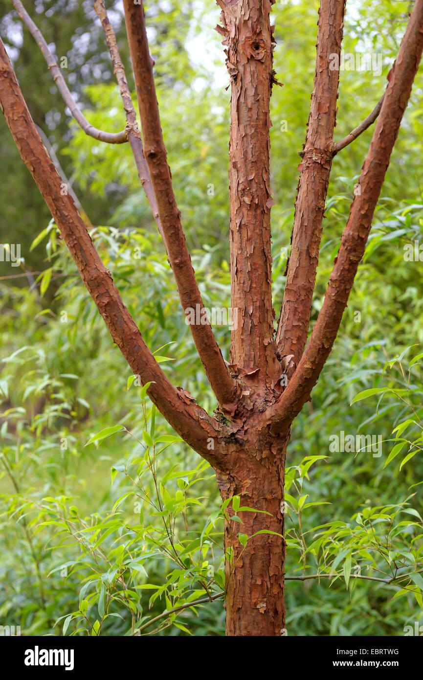 Paperbark maple (Acer griseum), tronco, Alemania, Kurpark Imagen De Stock