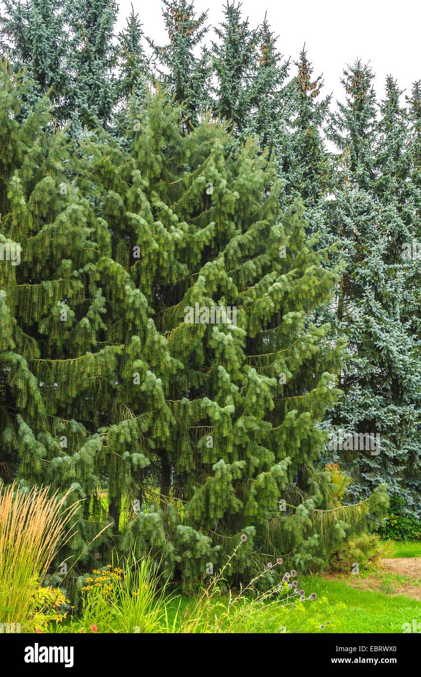 Brewer spruce, Brewer's llorando (Picea breweriana), Alemania (Sajonia) Imagen De Stock