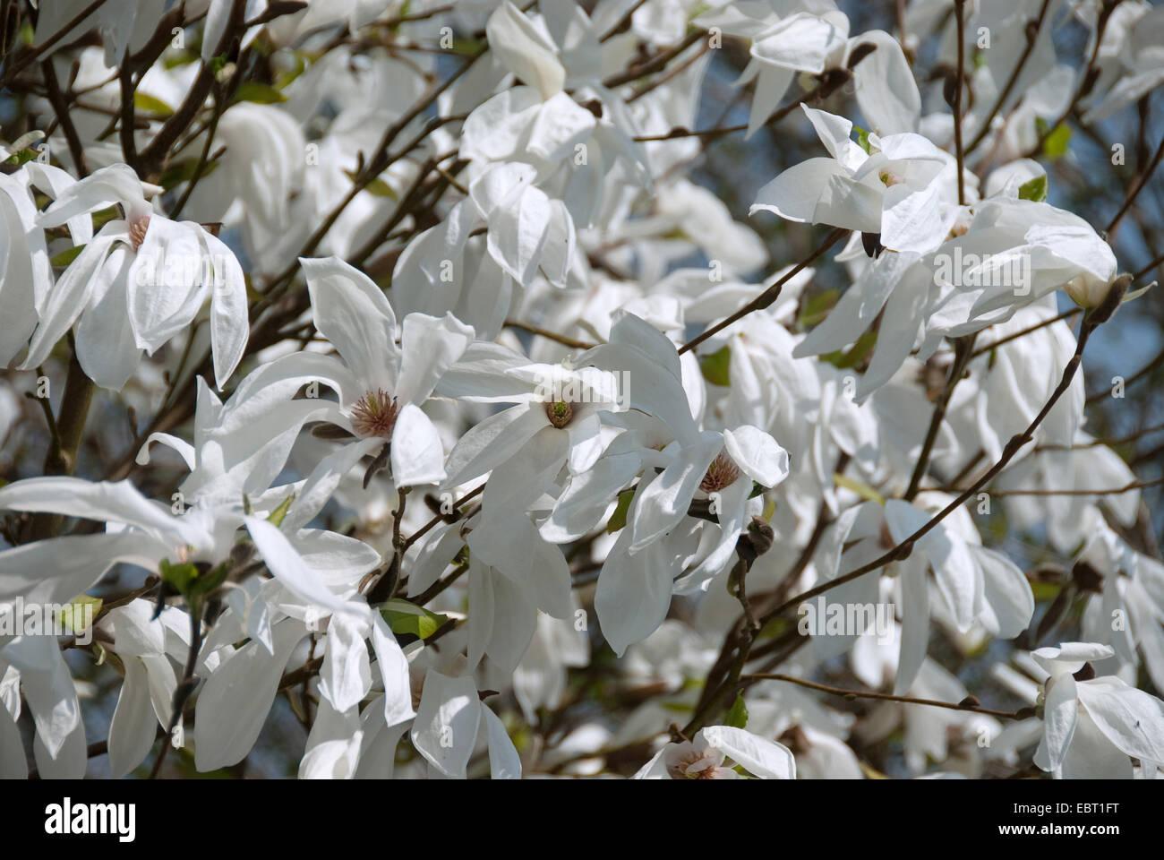 """Magnolia (Magnolia """"Memoria"""" de la ama, Magnolia ama), cultivar la memoria de memoria de la ama, flores Imagen De Stock"""
