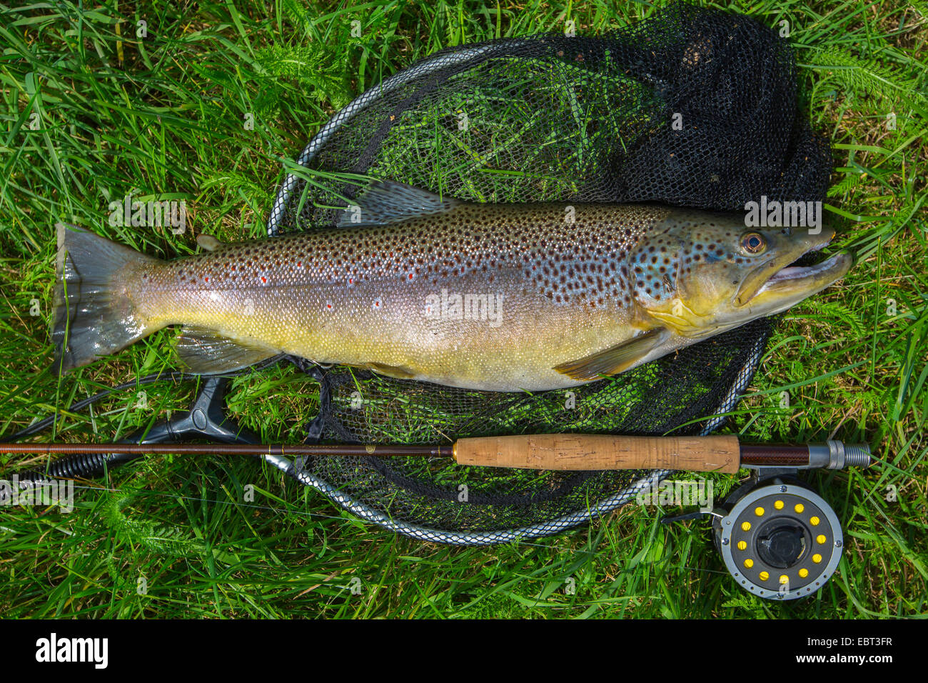 La trucha marrón, la trucha de arroyo, la trucha de río (Salmo trutta fario), capturados por la pesca Imagen De Stock