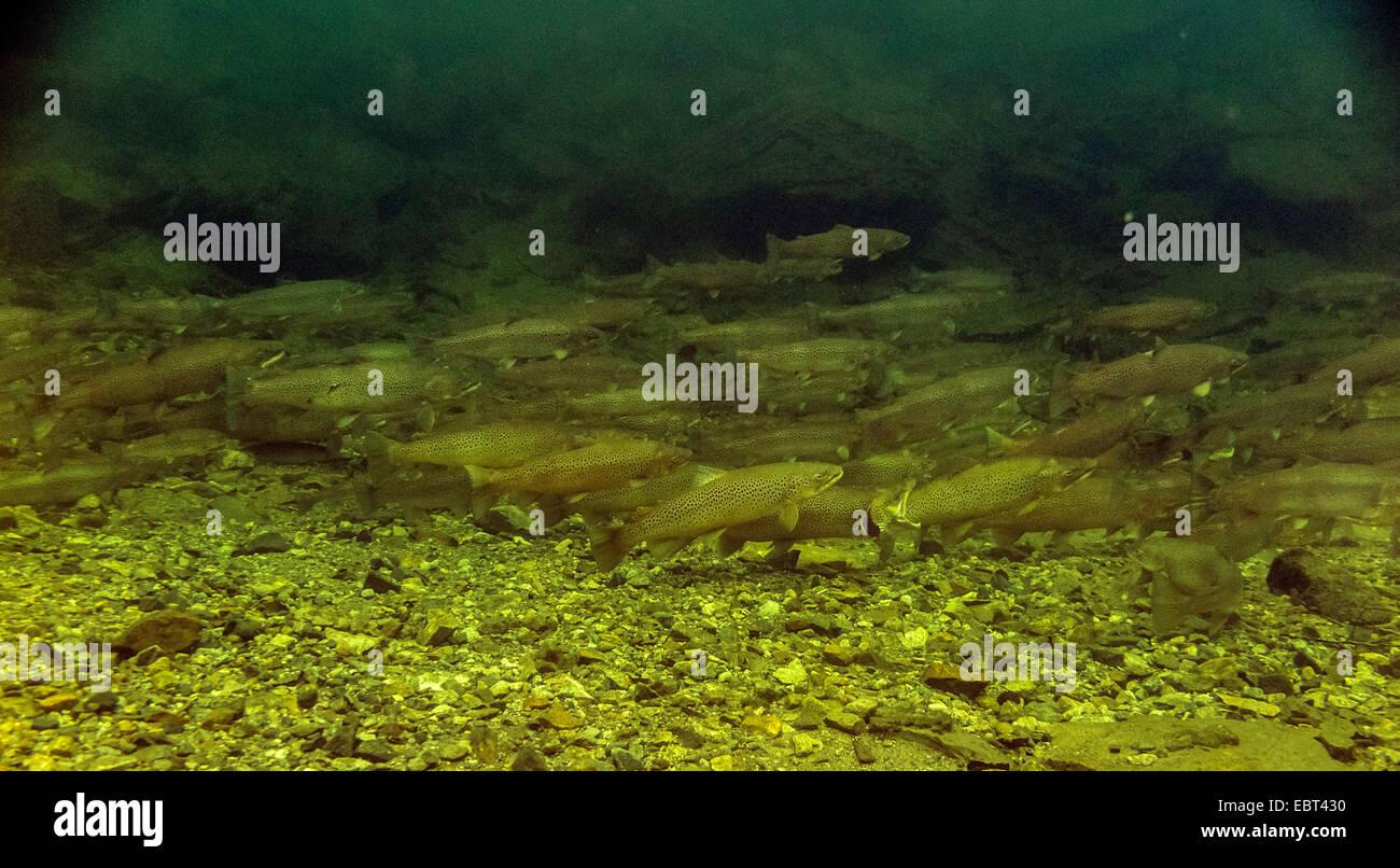 La trucha marrón, la trucha de mar, el Atlántico de Truchas (Salmo trutta trutta), la migración de Imagen De Stock