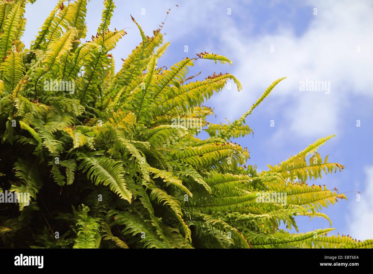 Helecho de Boston (Nephrolepis exaltata), planta en frente del cielo azul Imagen De Stock