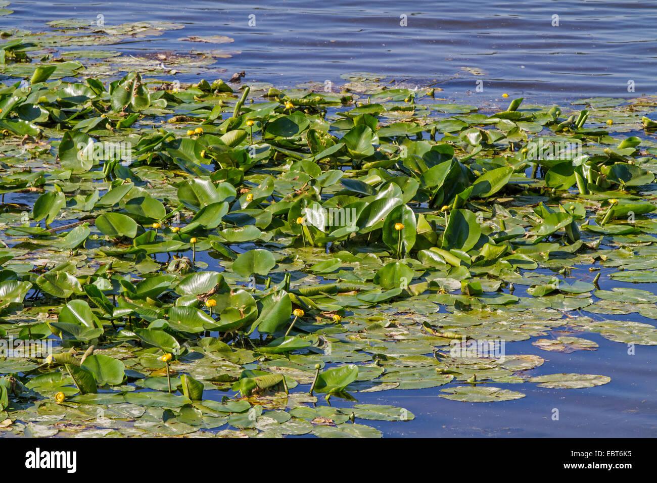 Unión amarillo-estanque de lirios de agua amarilla, lily (Nuphar lutea), floreciendo en un lago, en Alemania, en Baviera, el lago Chiemsee Foto de stock