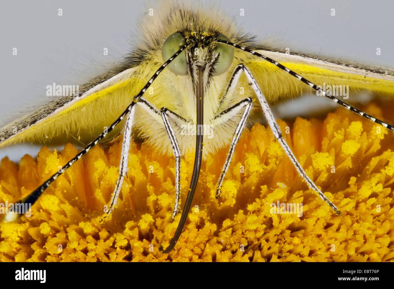 Gran blanco (Pieris brassicae), chupar néctar de una telekia, Alemania, en el Estado federado de Mecklemburgo-Pomerania Foto de stock