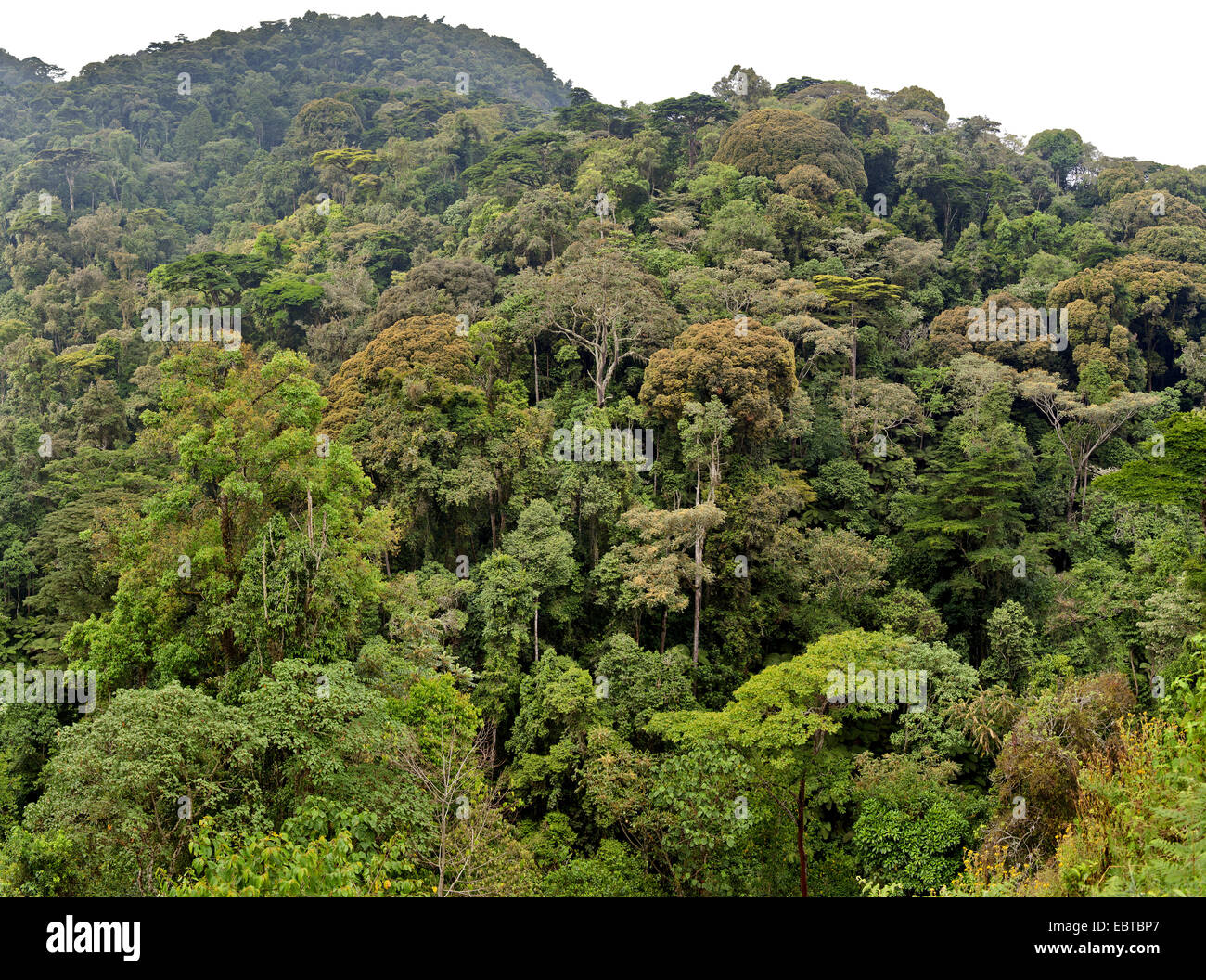 Selva, Uganda, el Parque Nacional Impenetrable de Bwindi Imagen De Stock