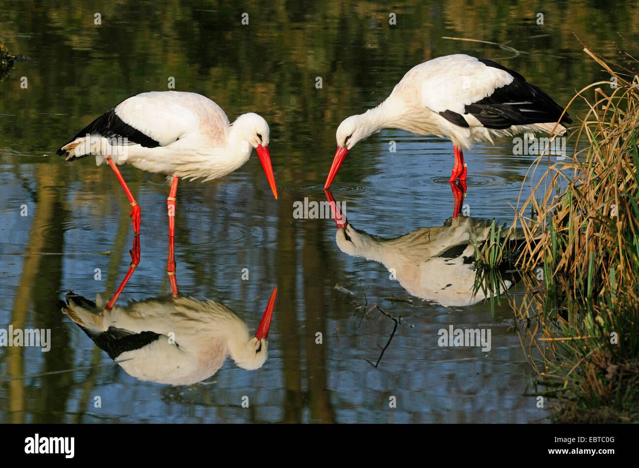 Cigüeña blanca (Ciconia ciconia), dos aves en busca de alimento en aguas poco profundas, Alemania Foto de stock