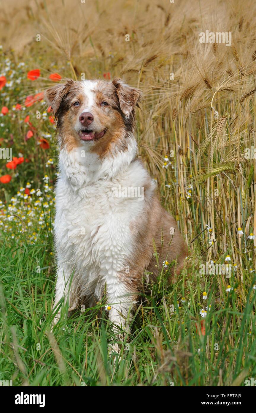 Pastor Australiano (Canis lupus familiaris) f., sentado en el límite del campo de maíz, Alemania Foto de stock