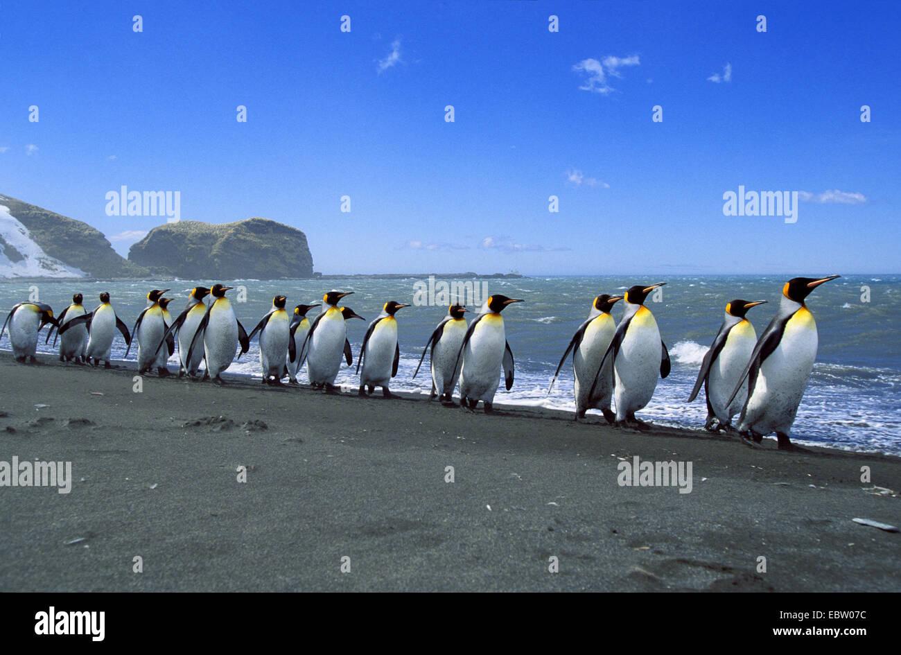 Pingüino Rey (Aptenodytes patagonicus), Pingüinos rey alineados Suedgeorgien Foto de stock