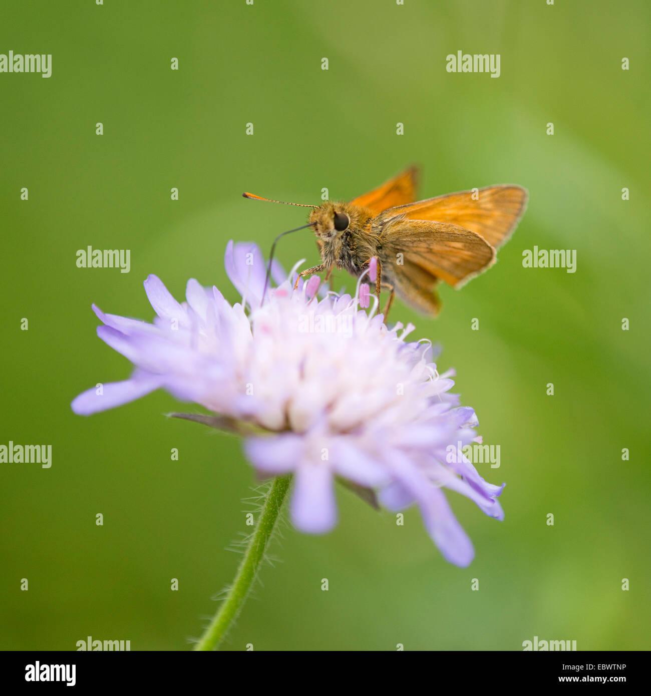 Gran Capitán Butterfly (Ochlodes sylvanus Ochlodes) venatus, chupando el néctar de una flor de un campo (Knautia Scabious Foto de stock