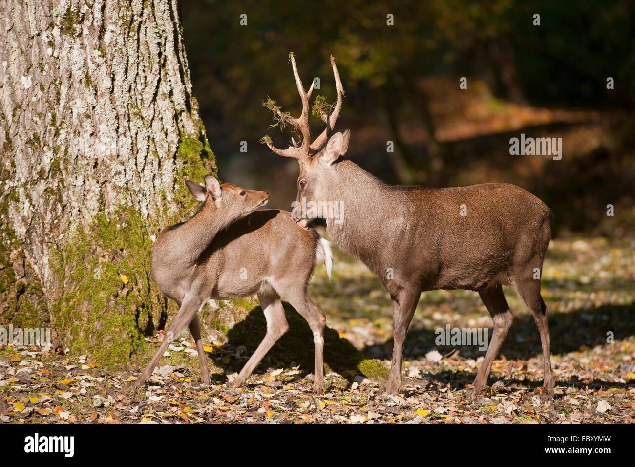 Ciervo Sika (Cervus nippon), el ciervo y un hind durante la rutina, cautiva, Baviera, Alemania Foto de stock