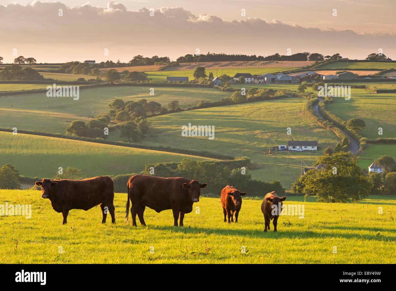 North Devon Rubí rojo ganado pastando en la campiña, perro negro, Devon, Inglaterra. Verano (julio de Imagen De Stock