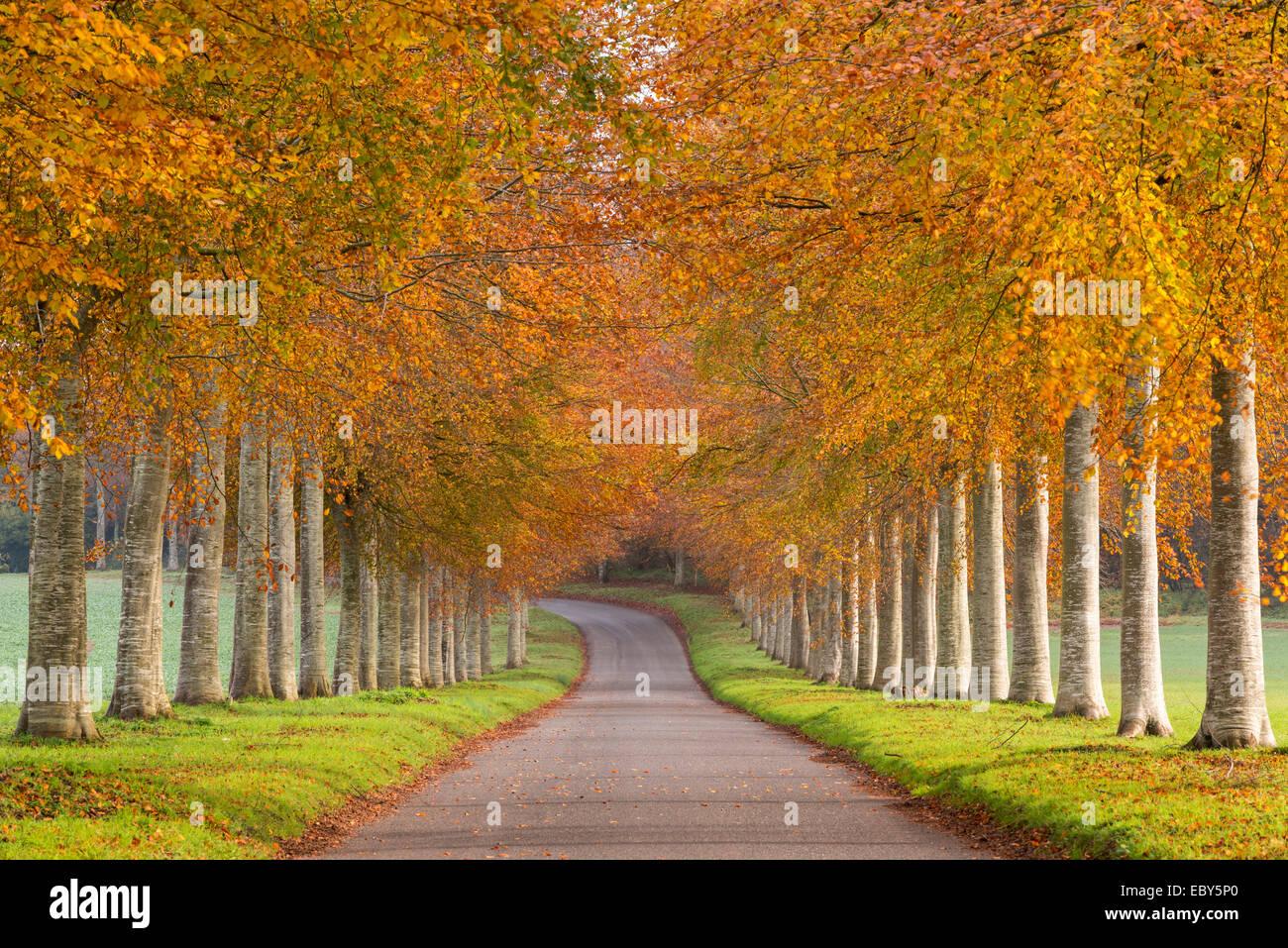 Avenida de coloridos árboles en otoño, Dorset, Inglaterra. De noviembre de 2014. Imagen De Stock