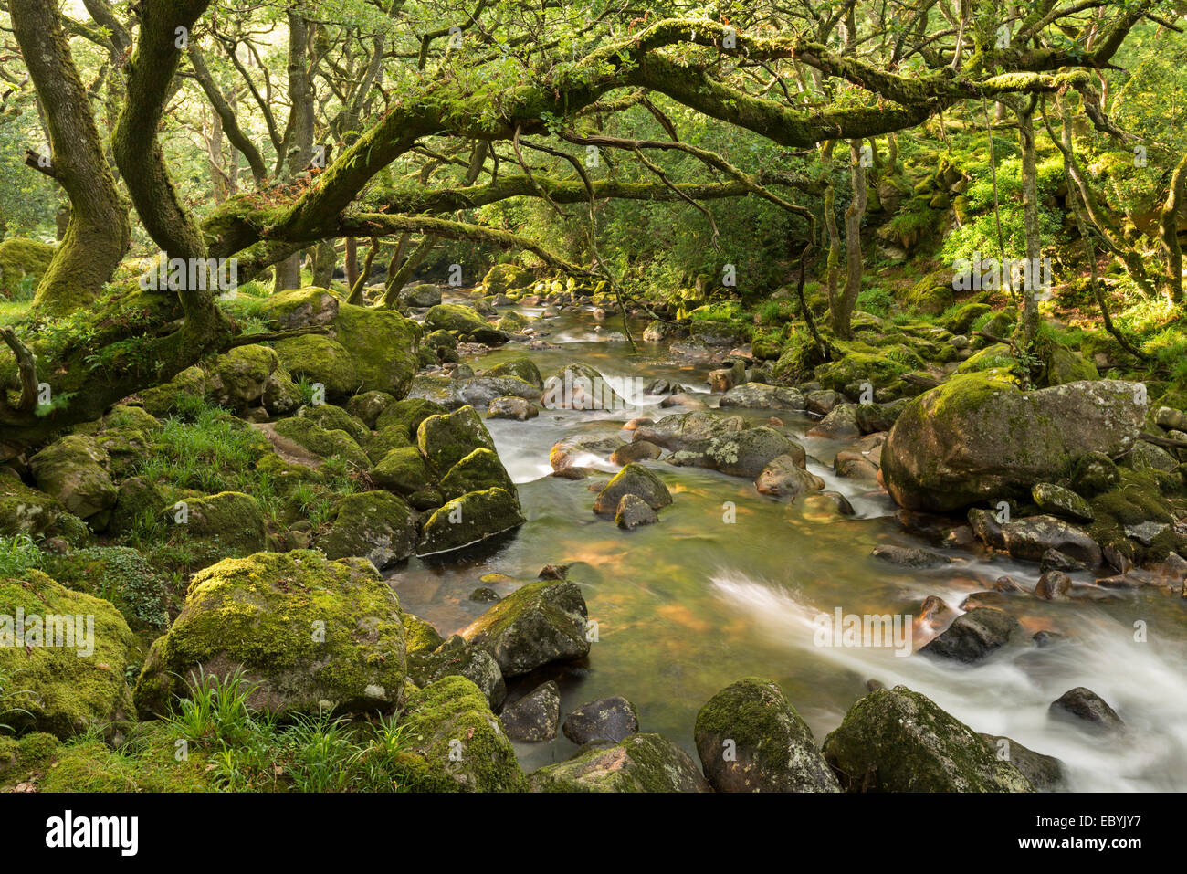 Rocky River Dewerstone Plym fluyendo a través de madera, Dartmoor, Devon, Inglaterra. Verano (Junio) de 2014. Imagen De Stock