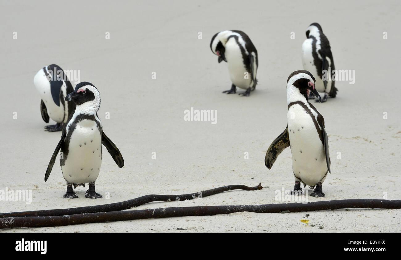 De pingüinos africanos (Spheniscus demersus) en la playa. Sudáfrica Imagen De Stock