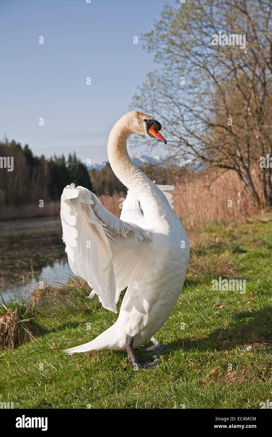 Ala rotundo en el lago de los cisnes Imagen De Stock