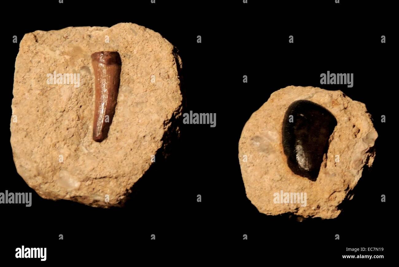 Steneosaurus sp. Los dientes del cocodrilo, Jurásico medio, Bosque de mármol, Atworth, Wiltshire. Imagen De Stock